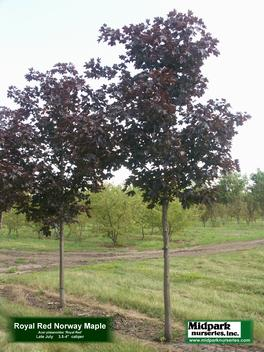 Acer platanoides Royal Red Maple Midpark Nurseries Wisconsin