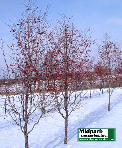 Crataegus phaenopyrum Lustre Washington Hawthorne Westwood Imidpark wisconsin nurseries