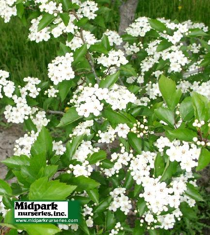 Crataegus viridis Winter King Hawthorne midpark wisconsin nurseries