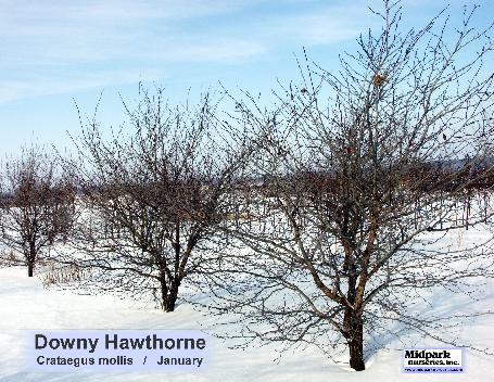 Crataegus mollis Downy Hawthorn midpark nurseries wisconsin