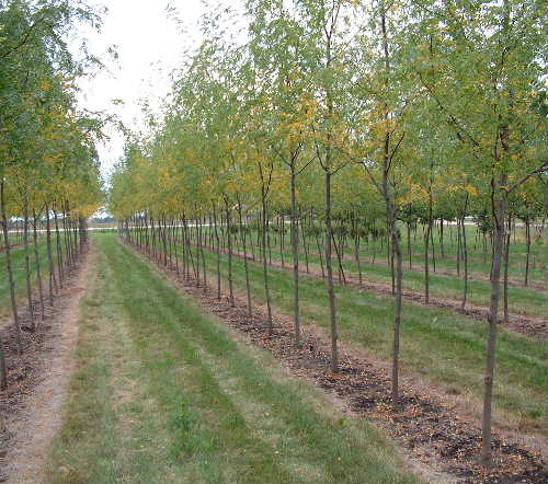 Gleditsia Skyline Honeylocust Wisconsin Midpark Nurseries