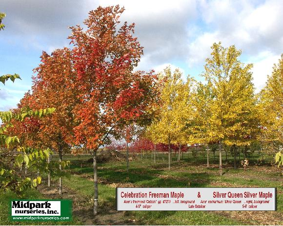 Acer Celebration Freeman Maple Silver Queen Silver Maple Midpark Wisconsin Nurseries