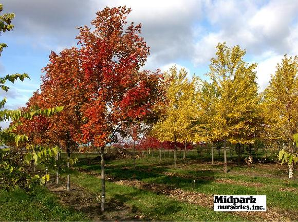 Acer Celebration Freeman Silver Queen Silver Maple Wisconsin Midpark Nurseries